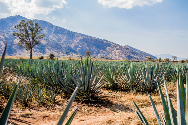 beautiful view of an blue agave plantation stock photo