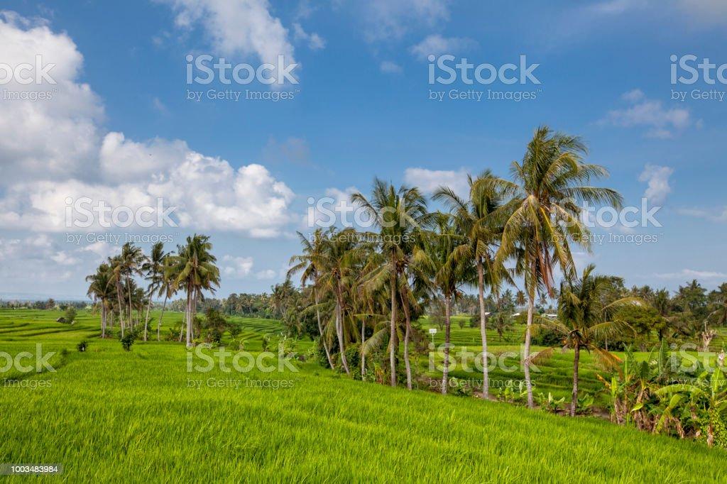 Hermosa Vista De Bali Arroz Verde En Terrazas De Campo