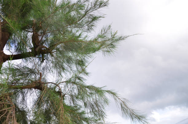 Schöne Aussicht auf Wolken mit Nadel wie Blätter und Zweige von Casvarina (Gaali Mara) Baum im Vordergrund – Foto