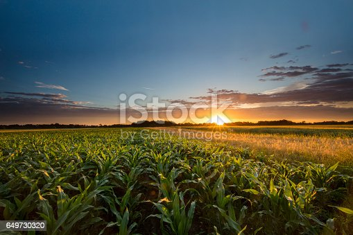 istock Beautiful view of corn farm during sunset 649730320