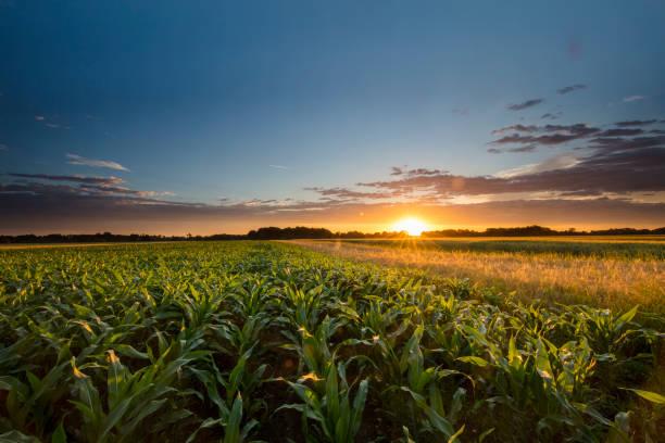 beautiful view of corn farm during sunset - milho imagens e fotografias de stock