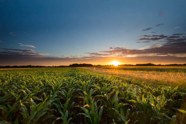beautiful view of corn farm during sunset - field stock photos and pictures