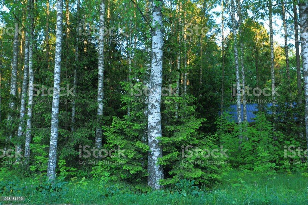 Beautiful view of forest with green trees on blue sky background. Cute fir tree hagging birch. - Zbiór zdjęć royalty-free (Bez ludzi)