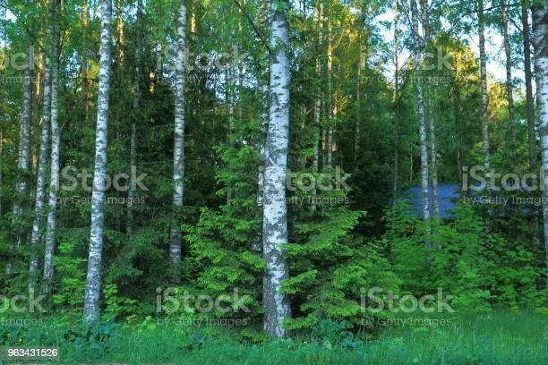 Piękny Widok Na Las Z Zielonymi Drzewami Na Tle Błękitnego Nieba Cute Jodła Hagging Brzozy - zdjęcia stockowe i więcej obrazów Brzoza