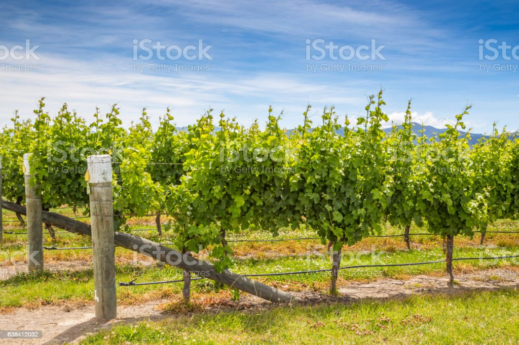 Beautiful view of green vineyard in Marlborough area, New Zealand stock photo