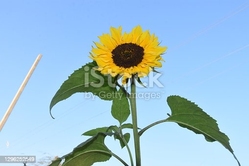 Beautiful view of sunflower flowers waving in the sky