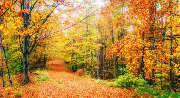 belle vue sur la forêt par une journée ensoleillée. paysage d'automne. carpates. ukraine - tomber photos et images de collection
