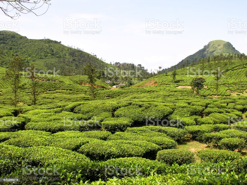 Beautiful view of the Tea Plantation at Ooty stock photo