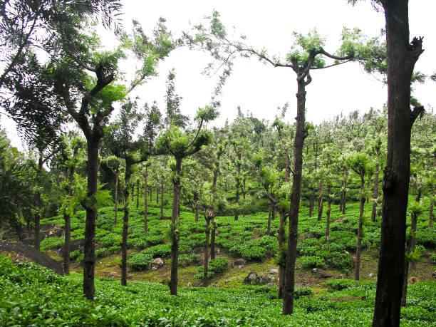 Schöne Aussicht auf die Tee-Plantage in Ooty – Foto