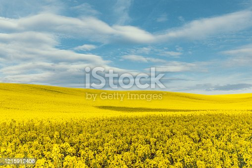 Rural summer scenery farmland landscape view of empty golden colour canola, rape or rapeseed ( brassica napus ) field pattern with cloudy blue sky. Rape plants for green energy and oil industry in South Moravia, Czechia