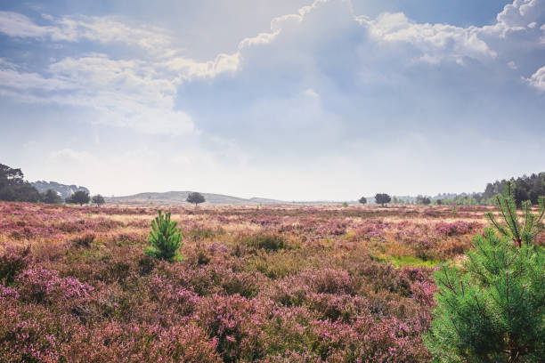Beautiful view over a heathland in the Netherlands Beautiful view over a heathland in the Netherlands. moor stock pictures, royalty-free photos & images