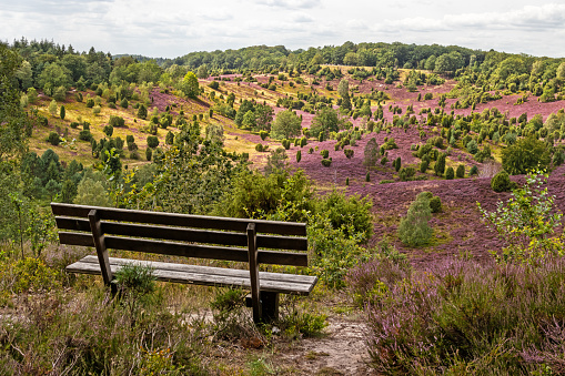 Beautiful View with Park bench in the Lüneburg Heath Nature Park (Nature Reserve) during the Heath Blossom, Totengrund, Northern Germany.