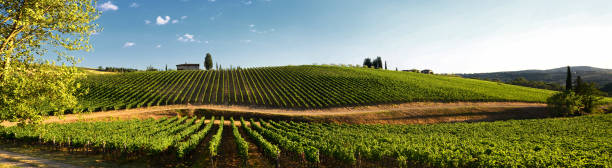 Beautiful vineyard and blue sky in Chianti, Tuscany. Italy Beautiful vineyard and blue sky in Chianti, Tuscany. Italy olive fruit stock pictures, royalty-free photos & images
