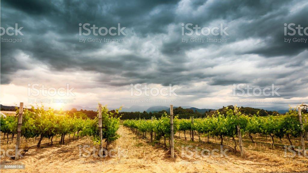 Beautiful vineyard landscape stock photo