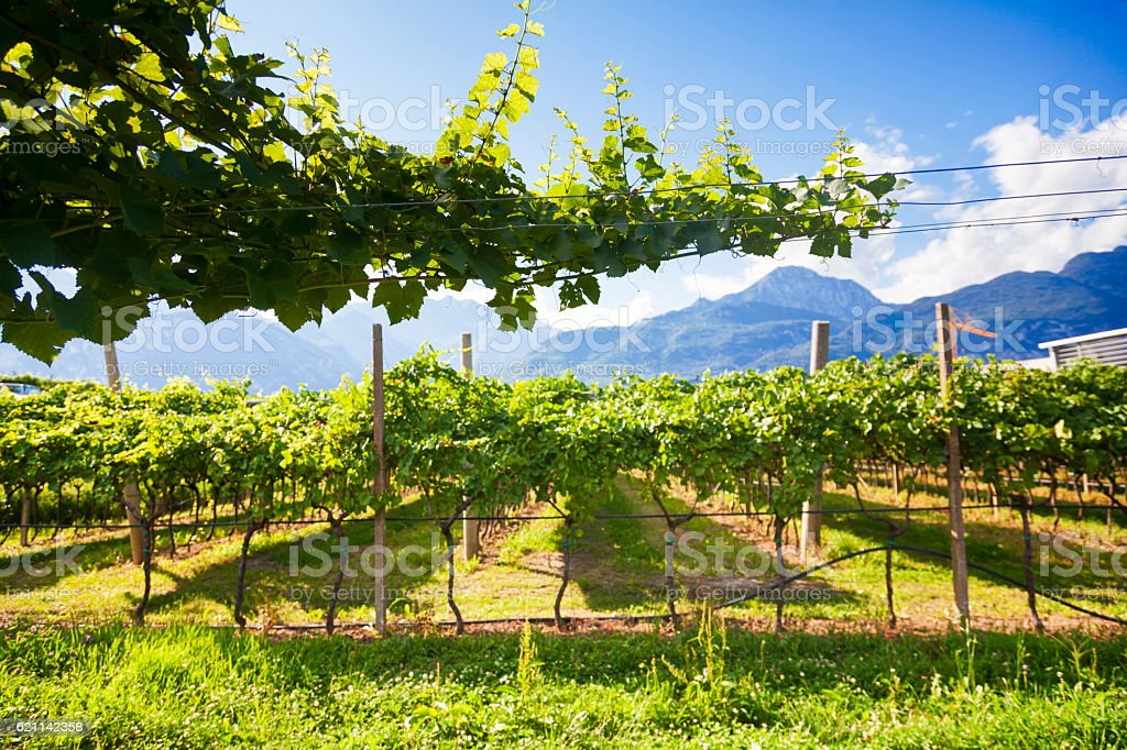 Beautiful Vineyard landscape with green and yellow sunny leaves stock photo