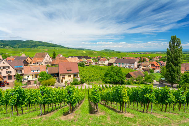 beautiful vineyards in Hunawihr village, Alsace, eastern France typical landscape in Alsace in France grand est stock pictures, royalty-free photos & images