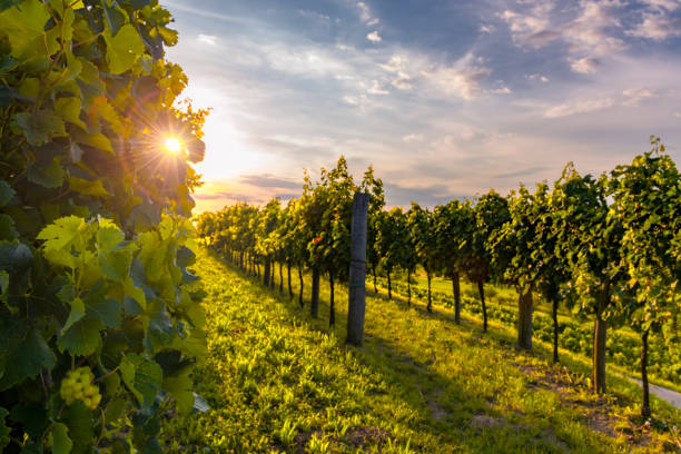 Beautiful vineyards of Vipava valley, Slovenia at the sunset. Evening at Slovenian countryside. Selective focus on the foreground
