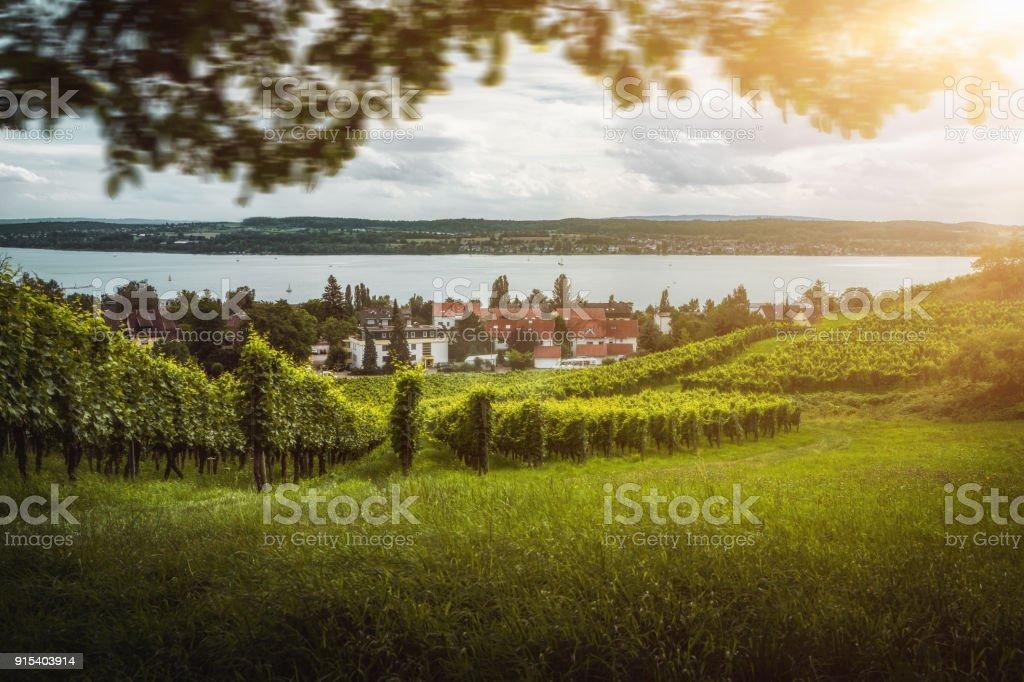 Weinberge mit Trauben vor dem Bodensee – Foto