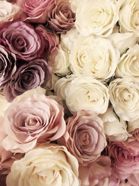 beautiful vintage rose background. white, pink, purple, violet, cream color bouquet flower. elegant style floral. - vintage flowers stock photos and pictures