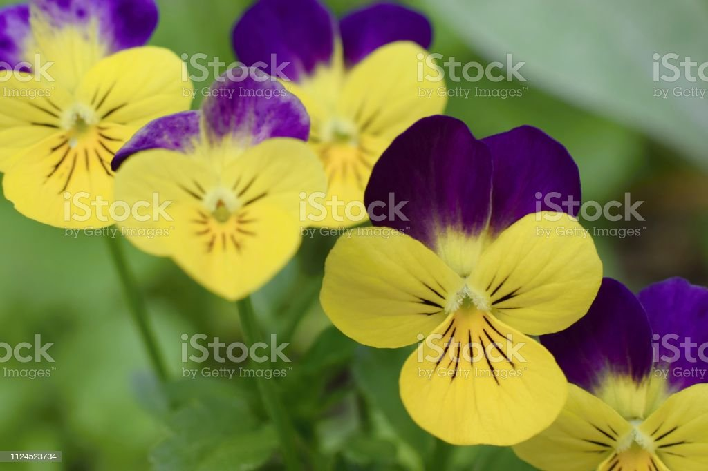 Beautiful Viola Flowers Yellow And Purple Colored Stock Photo