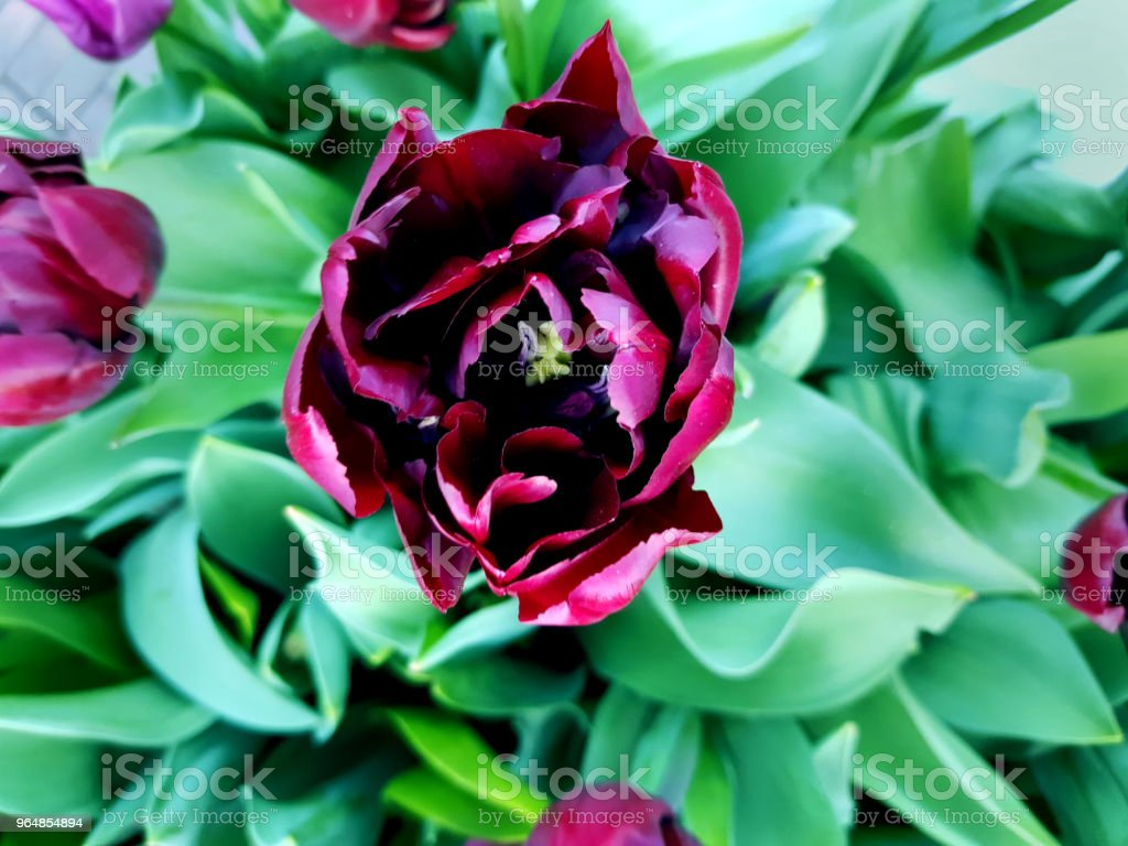 Beautiful violet holland tulip blooming in the garden. Close up top view. royalty-free stock photo