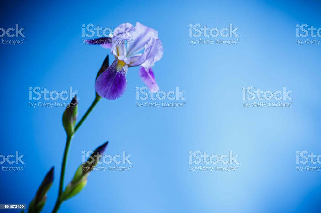 beautiful violet iris flower royalty-free stock photo