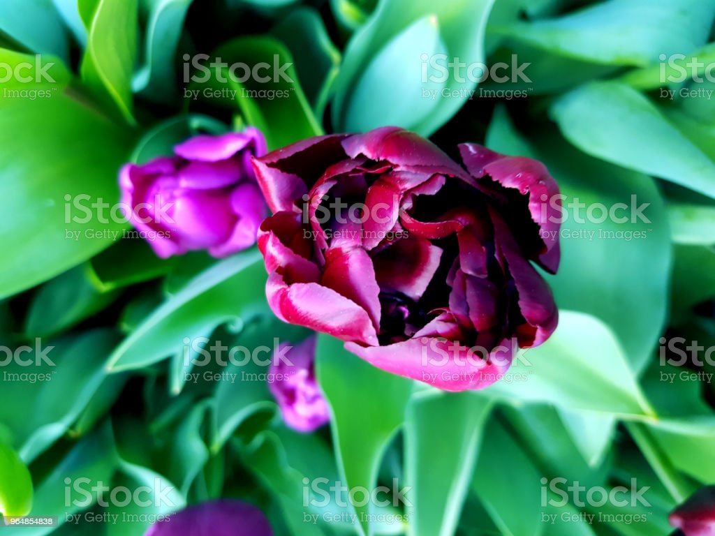Beautiful violet peony holland tulip. Bloomy flowers in the garden. Close-up top view. royalty-free stock photo