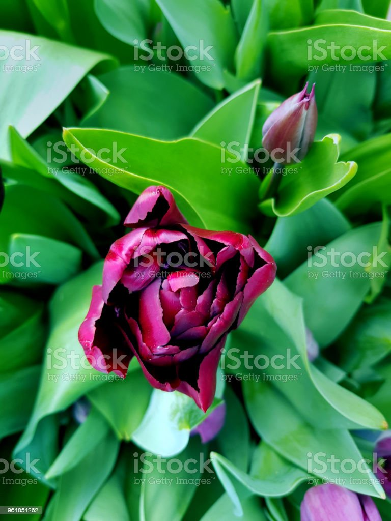 Beautiful violet peony holland tulip top view. Spring flower blossoming close-up. royalty-free stock photo
