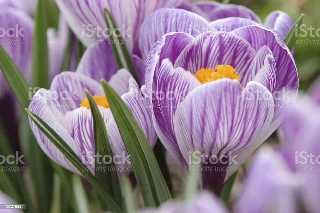 Beautiful Violet royalty-free stock photo