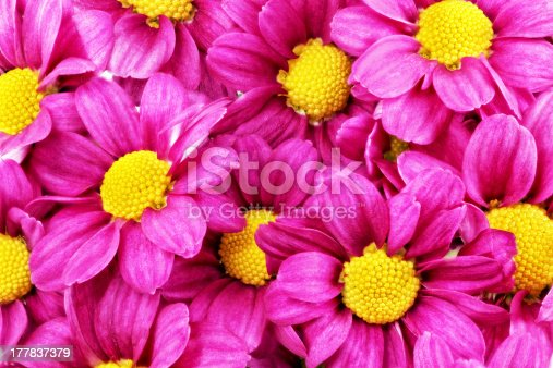 Beautiful violet red dahlia flowers.Closeup