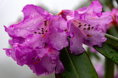 Close-up of a blossoming  beautiful violet Rhododendron Flower in North Sikkim Eastern Himalaya