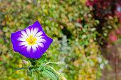Purple wildflower on a background of autumn foliage