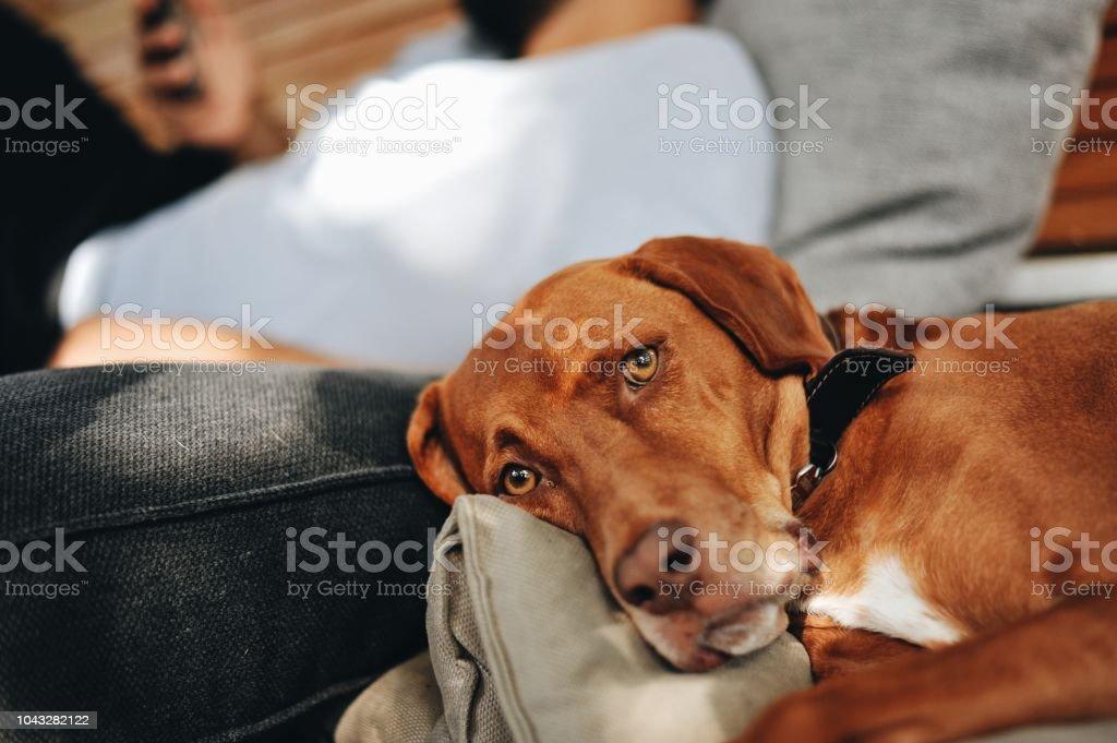 Beautiful Vizsla dog looking at the camera stock photo