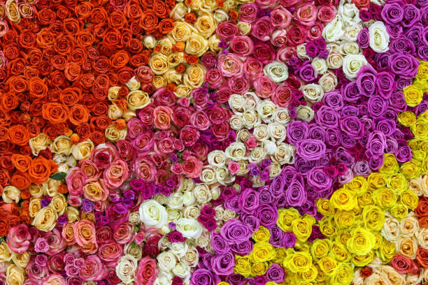 Beautiful wall made of colourful roses picture id825729476?b=1&k=6&m=825729476&s=612x612&w=0&h=3vvx4korue22rhehzkt zzdm2tpa9cd npnxc3hp fc=
