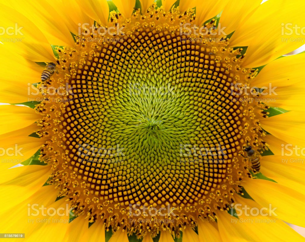 beautiful warm sunflower close stock photo