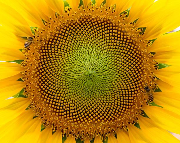 красивая теплая sunflower закрыть - golden ratio стоковые фото и изображения