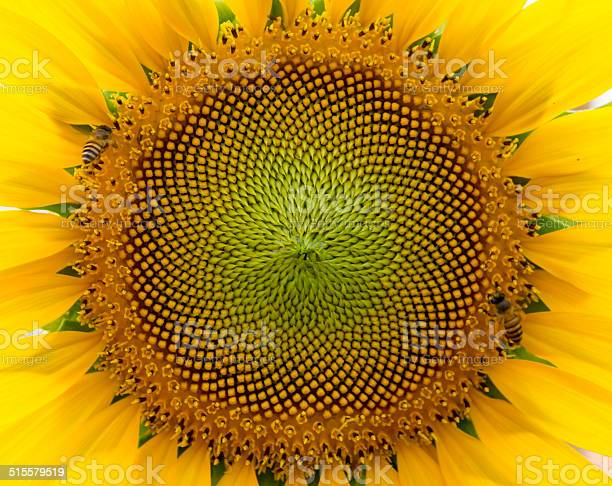 Beautiful Warm Sunflower Close Stock Photo - Download Image Now