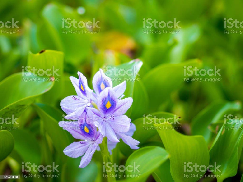 Beautiful Water Hyacinth flowers stock photo