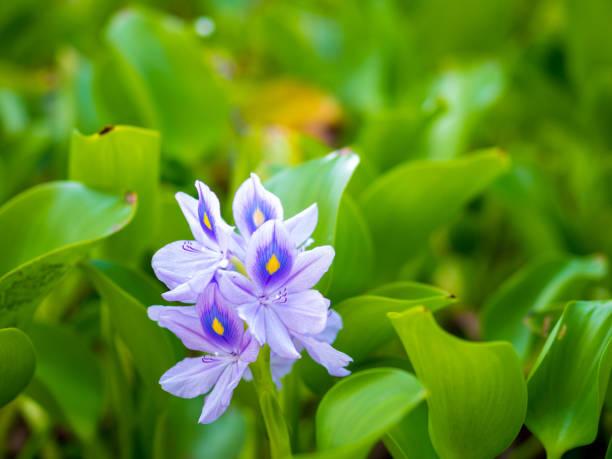 Belas flores do Hyacinth de água - foto de acervo