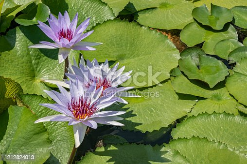 Majestic Blooming of this exotic lotus flower