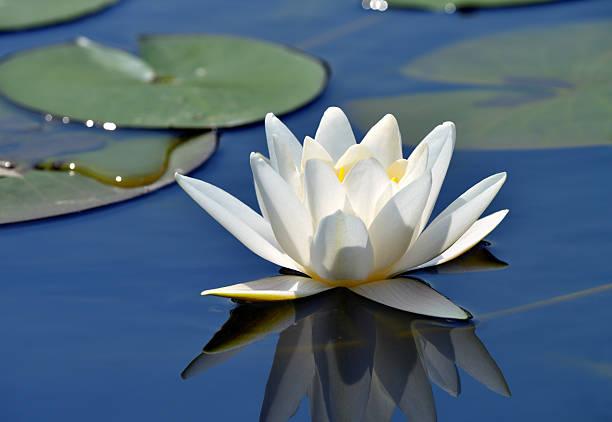 schöne water lily - wasserlilien stock-fotos und bilder