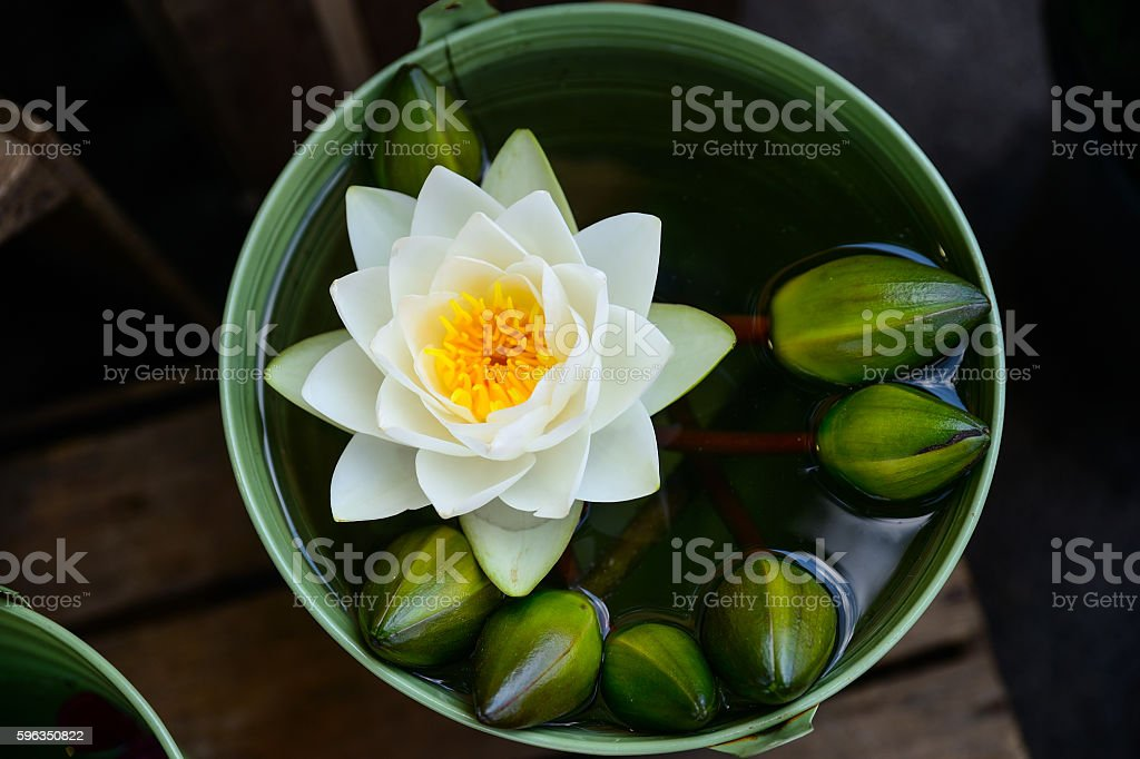 beautiful waterlily or lotus flower is complimented by the rich Lizenzfreies stock-foto