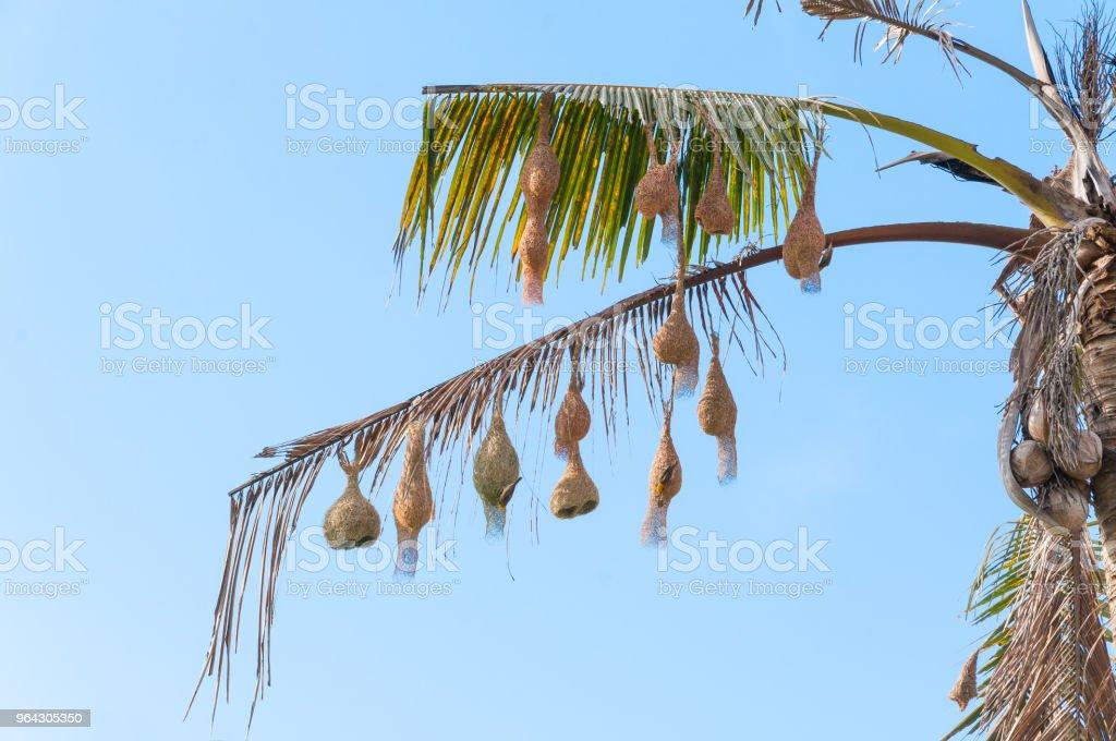 Beautiful weaver bird\'s nest on tree.Bird\'s nest hanging on the...