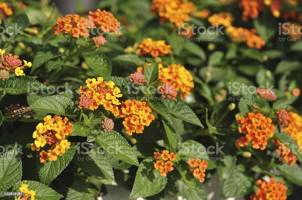 Beautiful Weeping lantanas in garden stock photo