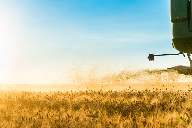 Beautiful wheat field during harvest time, background stock photo