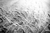 Beautiful wheat field, grain field in summer, time to harvest