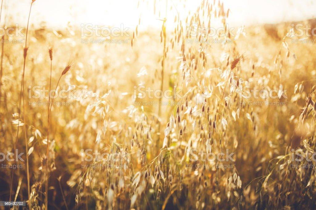 Vackra vetefält på en solig dag. - Royaltyfri Bildbakgrund Bildbanksbilder