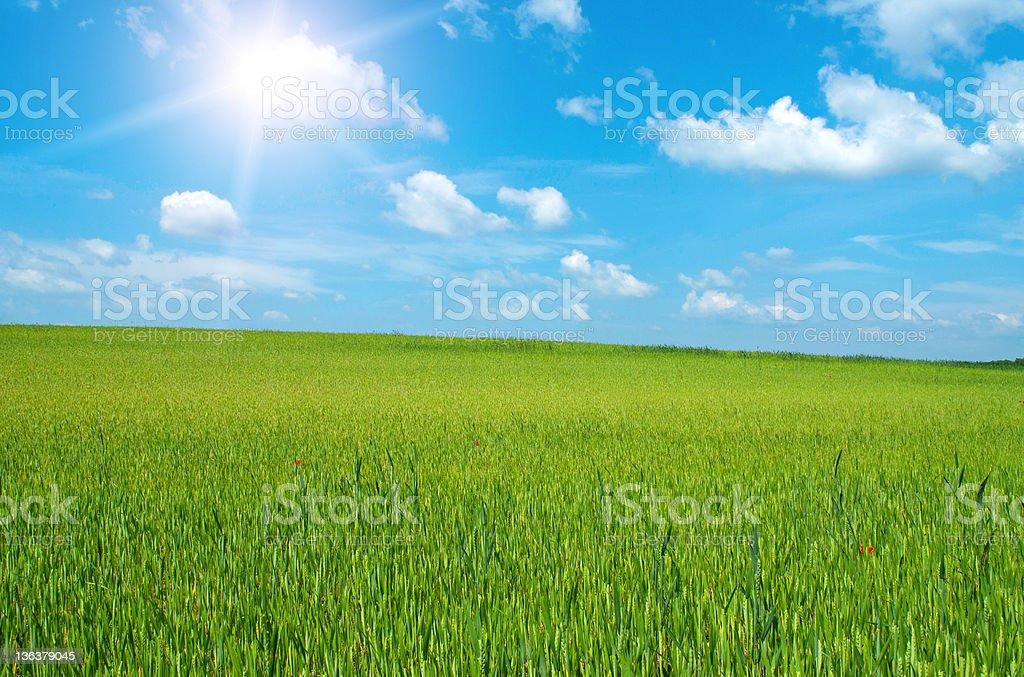 Beautiful wheat-field royalty-free stock photo