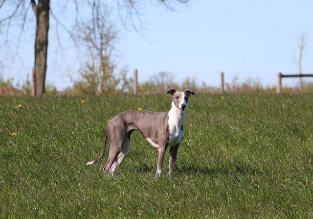 beautiful whippet is standing in the park whippet portrait outdoor whippet stock pictures, royalty-free photos & images