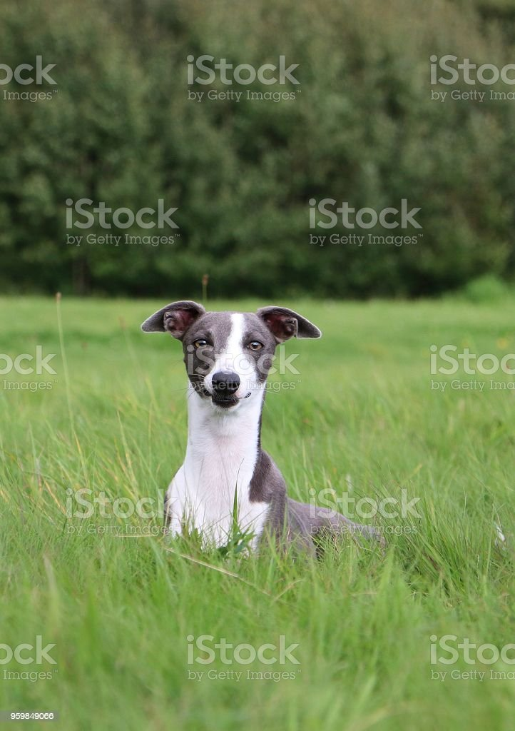 beautiful whippet portrait in the park stock photo